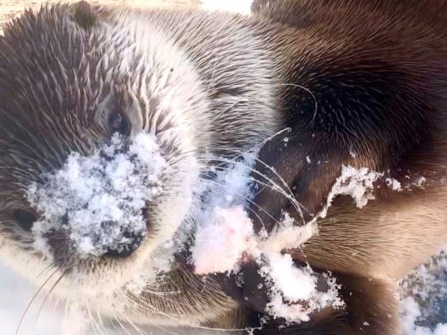 Otter Mayhem in snow, 2019.