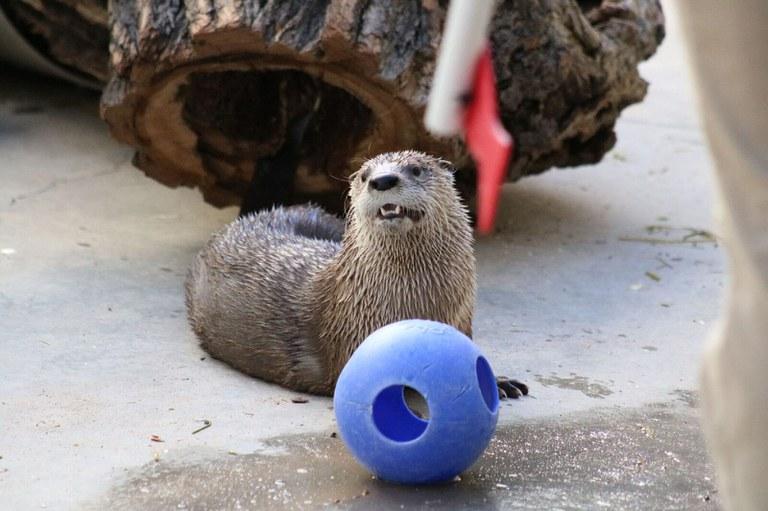 "Otter ""Mayhem"" at the BioPark."