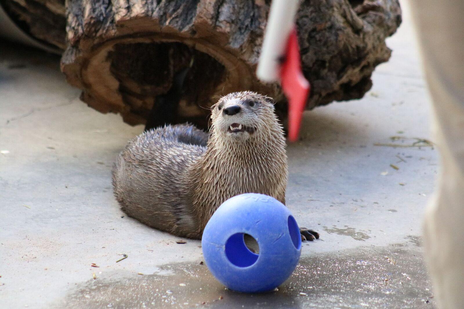 Otter Mayhem with a Ball