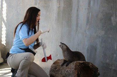 Mayhem the otter training at the BioPark, 2017.