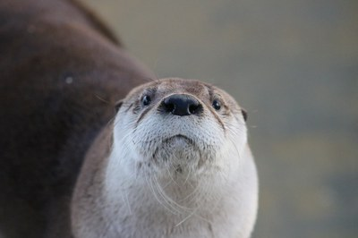 Mayhem the otter at the BioPark, 2017.