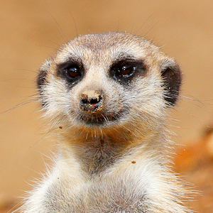 Meerkat Headshot Animal Yearbook