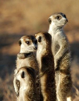 meerkat3.jpg