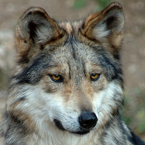 Mexican Gray Wolf Headshot