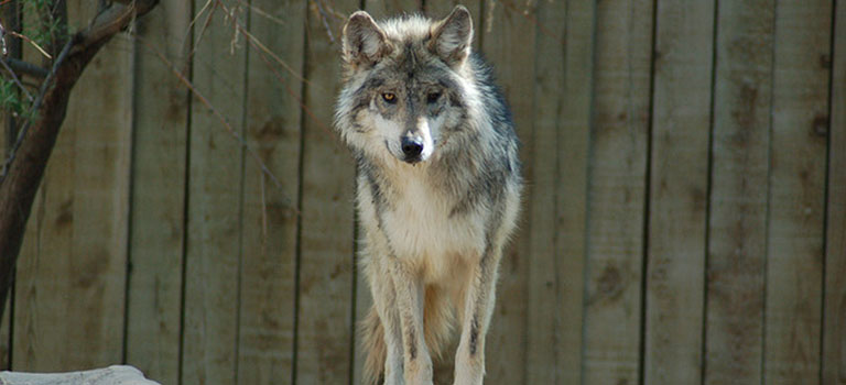 Mexican gray wolf stare