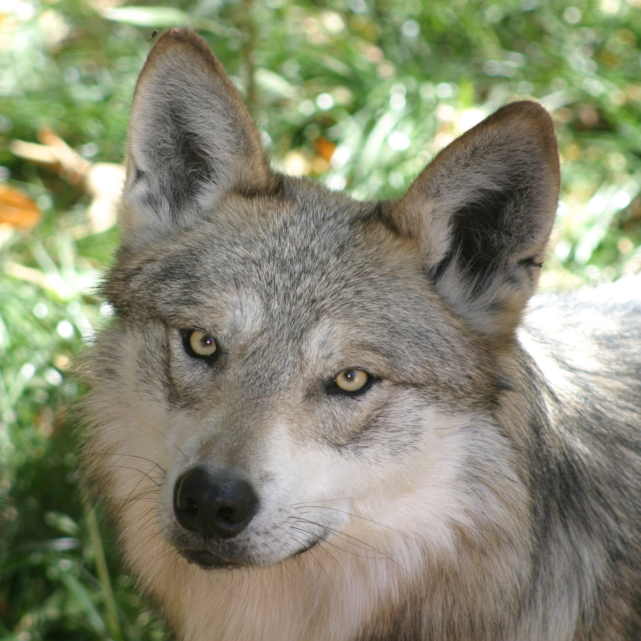 mexican wolf square