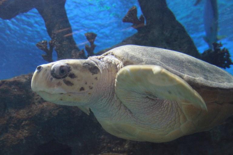 Mimi Loggerhead Turtle