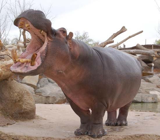 moe-the-hippo.jpg