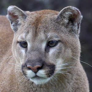 Mountain Lion Headshot Animal Yearbook