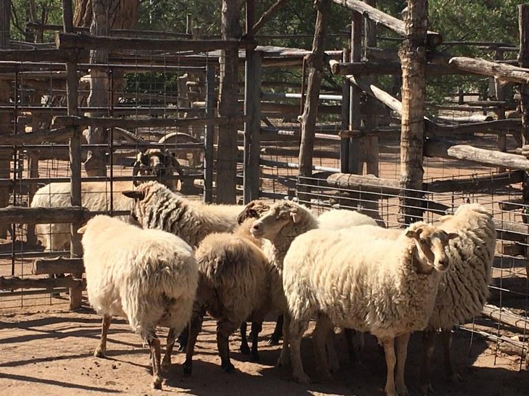 Six new Navajo churro sheep ewes