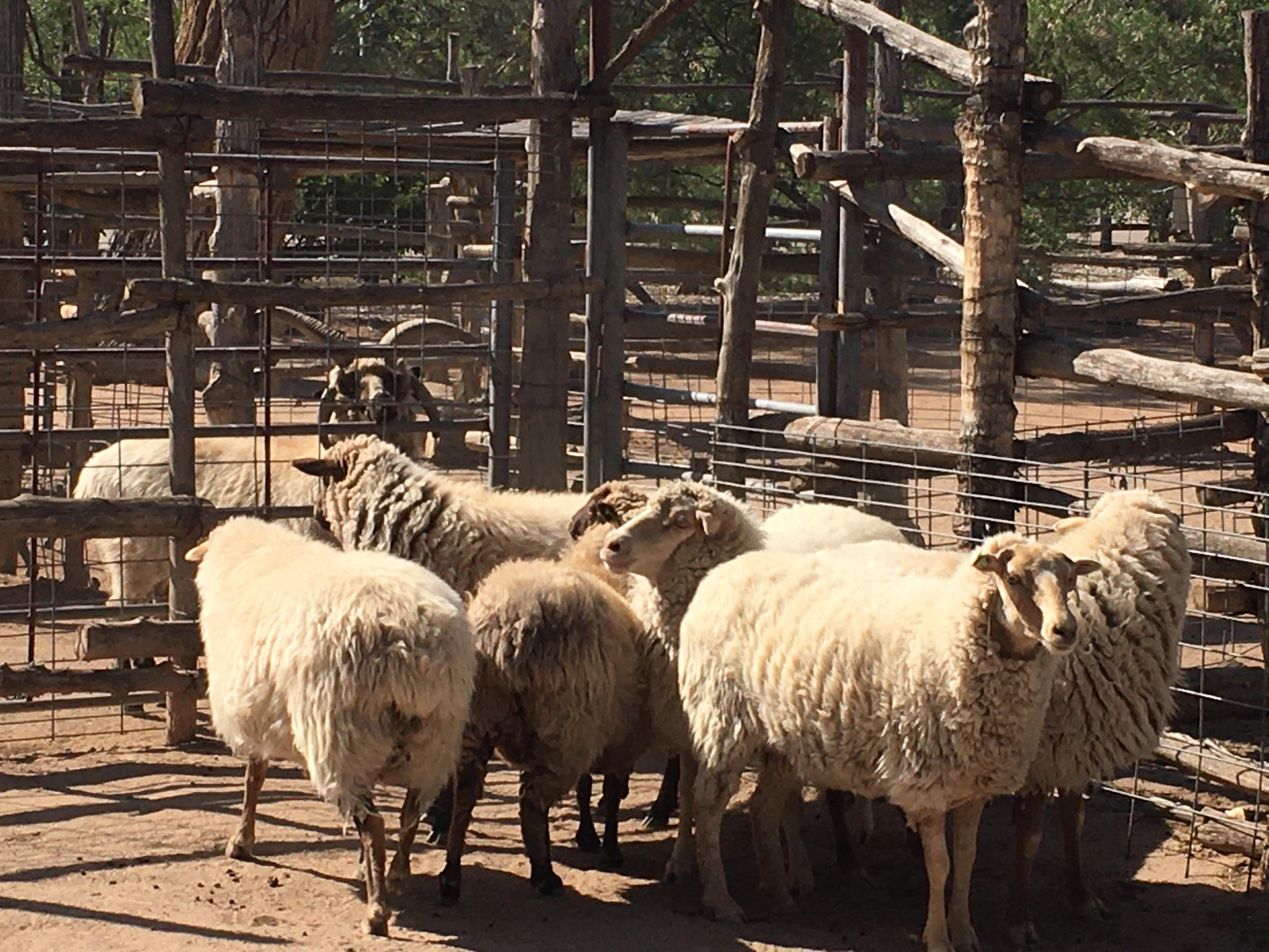Navajo Churro Sheep July 2020