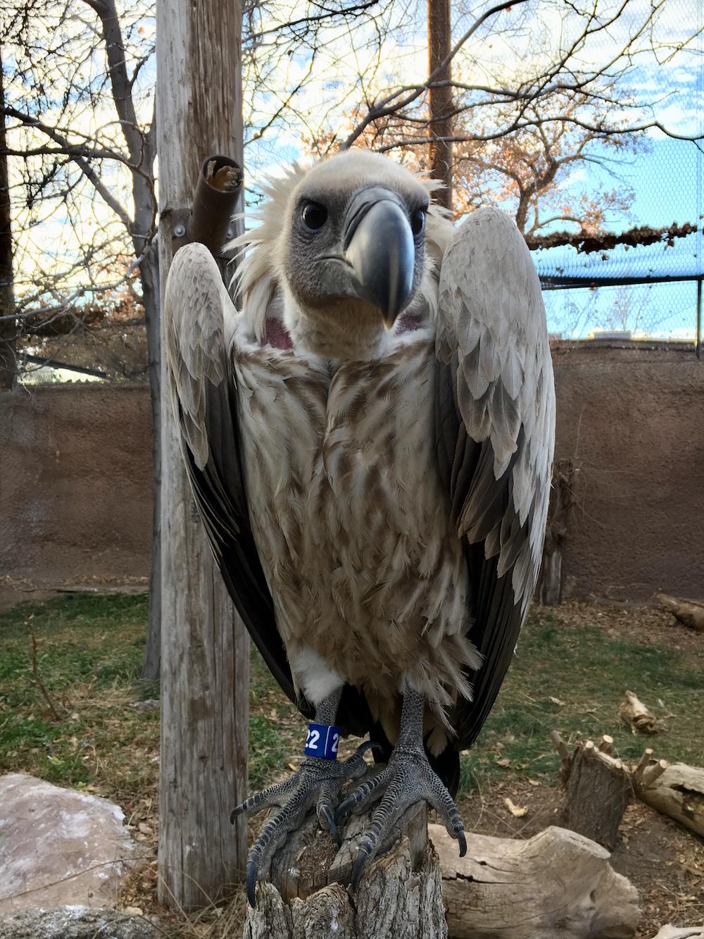 Nazgul Vulture, Amanda Baca Photo