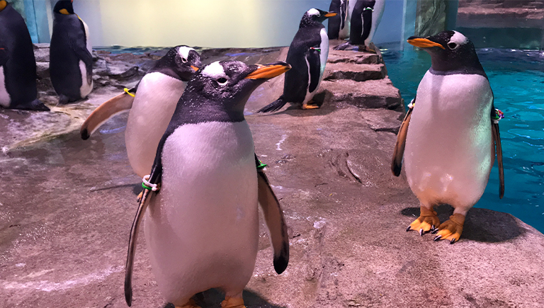 Penguins posing at the ABQ BioPark Penguin Chill Exhibit
