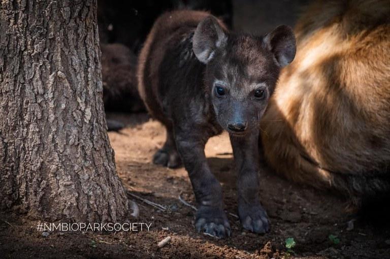 Hyena Cub 2020 NMBPS