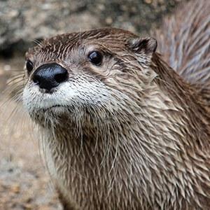 Headshot of North American River Otter