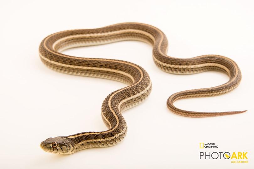 Northern Mexican Garter Snake_Joel Sartore