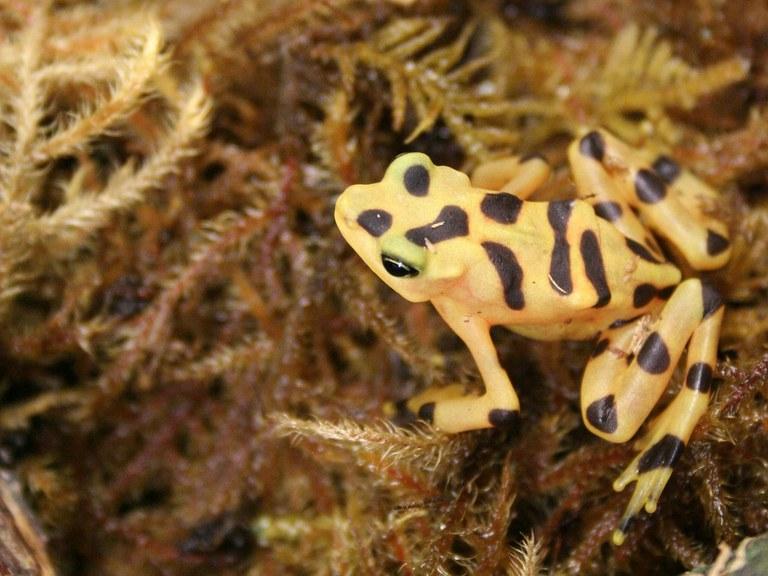 Panamanian golden frog 2