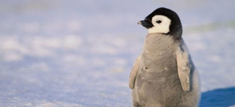 Penguin Cool Facts_Baby Penguin No Polar Bears