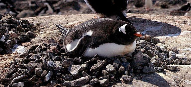 penguin-rock-nest