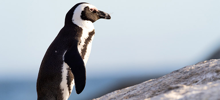 Penguin Cool Facts_Penguin Walking