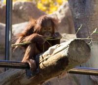 closeup of pixel the orangutan sitting on a branch