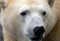 polar bear closeup face