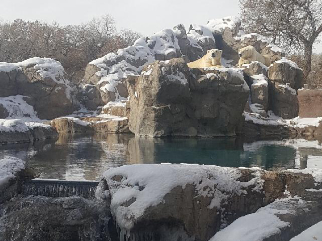 Polar bears in snow