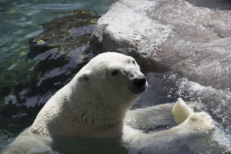 Polar bear ice treat