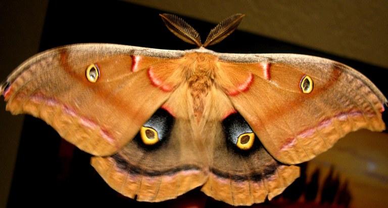 polyphemus moth_OakleyOriginals Flickr