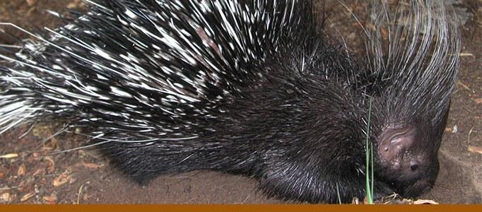 porcupine stroll banner