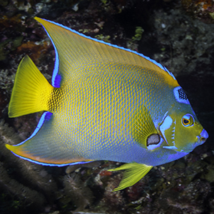 Headshot of Queen Angelfish