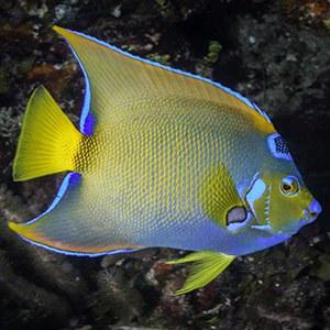 Queen Angelfish Headshot Aquarium Yearbook
