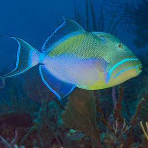 Queen Triggerfish Headshot Aquarium Yearbook