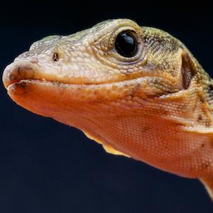 Quince Monitor Lizard Headshot Animal Yearbook