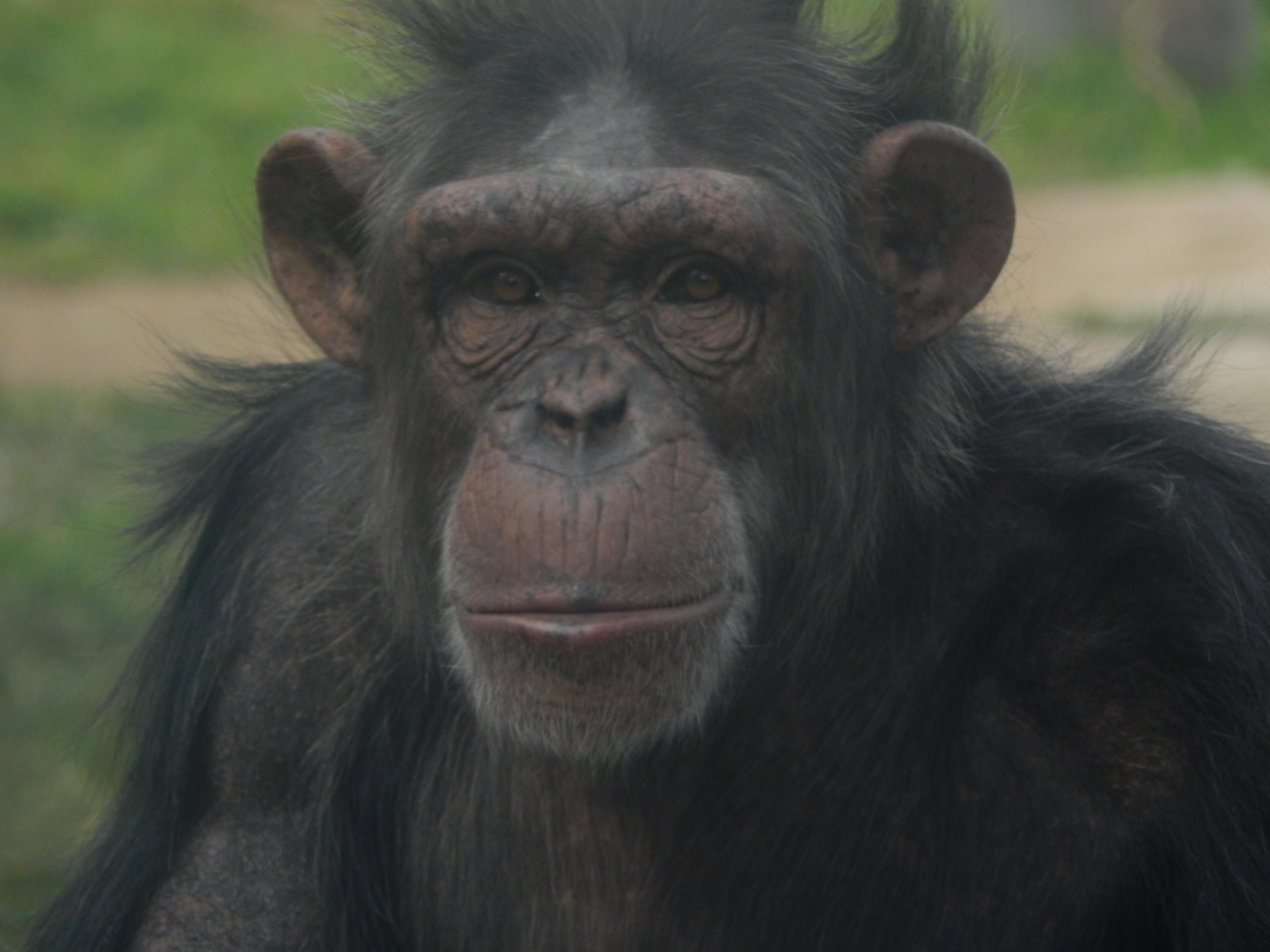 Rainy Chimp