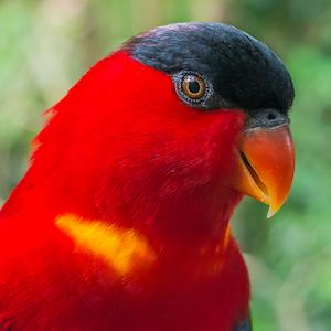 Red Lory Headshot Animal Yearbook