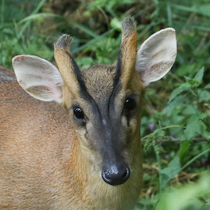 Reeve's Muntjac Headshot Animal Yearbook