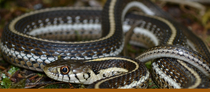 Reptile house banner - New mexico garter snake