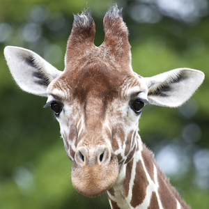 Reticulated Giraffe Headshot Animal Yearbook