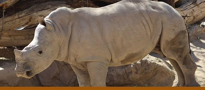 Rhino banner