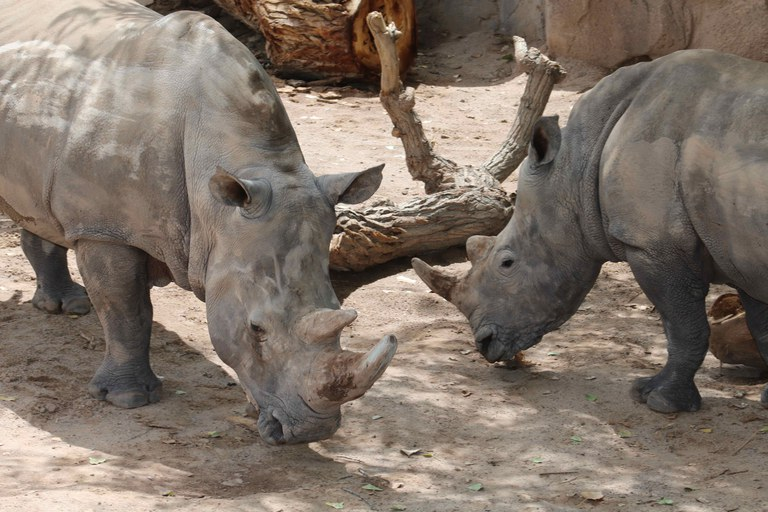 Rhinos at the BioPark BP Connect