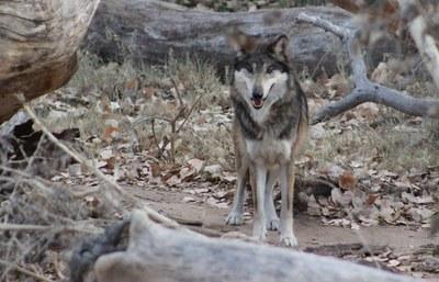 ryder-wolf-biopark