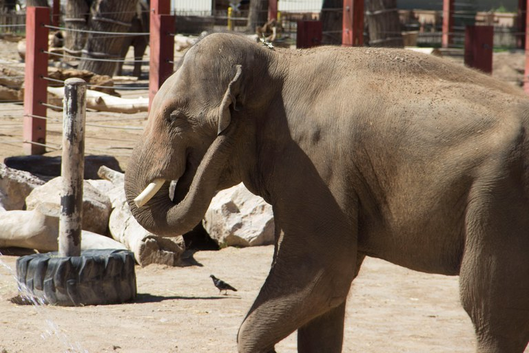Samson elephant