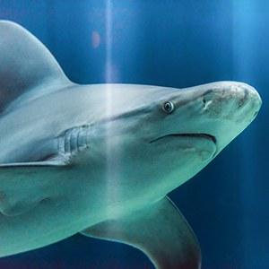 Sandbar Shark Headshot Aquarium Yearbook