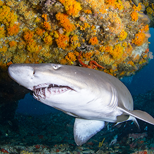 Headshot of Sand Tiger Shark