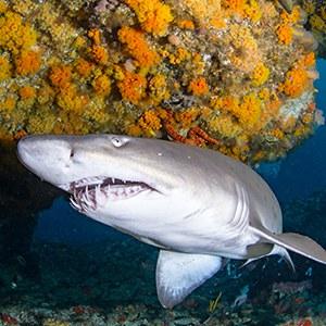 Sand Tiger Shark Headshot Aquarium Yearbook