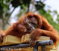 orangutans mom sarah and baby pixel