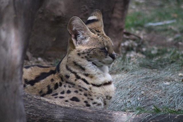 Savannah the Serval