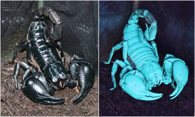 Scorpions glowing under blacklight