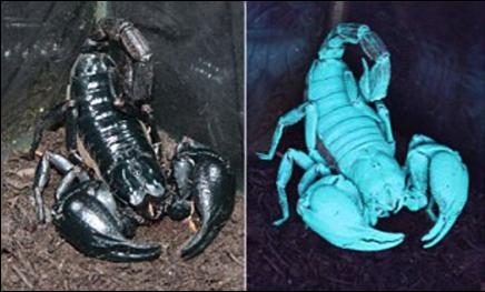 Scorpions Glowing